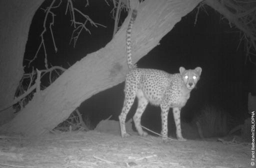 5--saharan-cheetah-in-front-of-a-tree